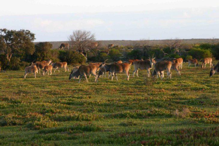 Antelopes in De Hoop Park