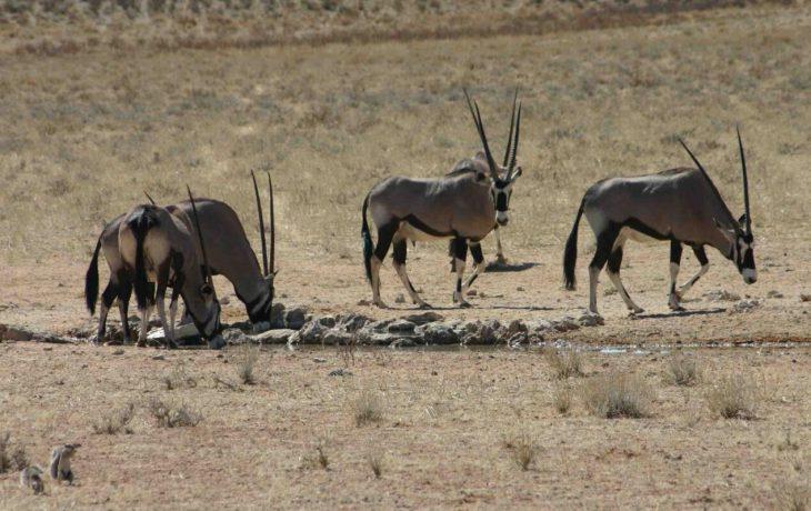 Antelopes in the Kgalagadi Transfrontier National Park