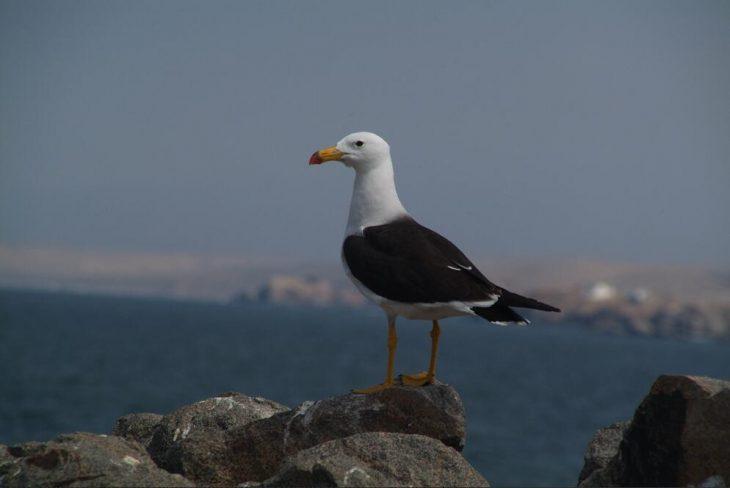 Coastal bird