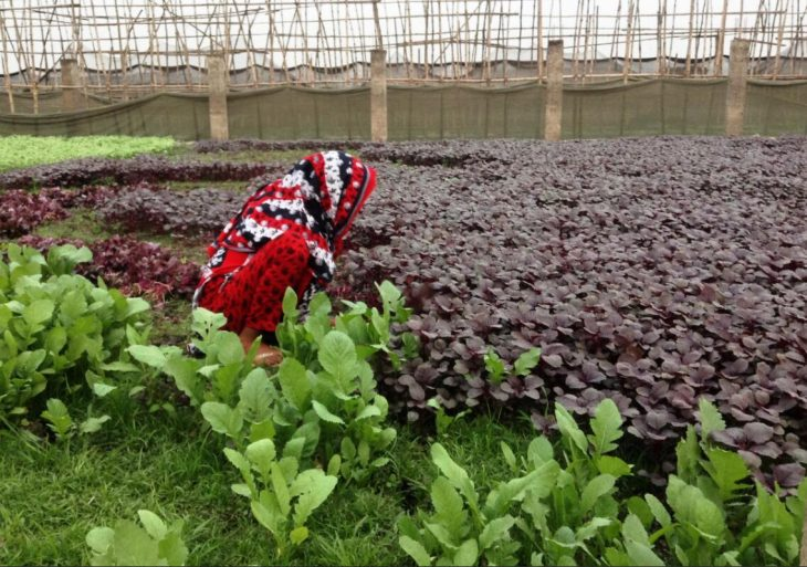 Cultivation of a spinach variety