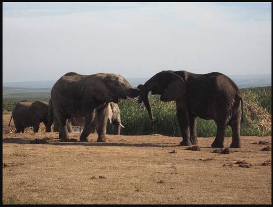 Elephants in Addo Park