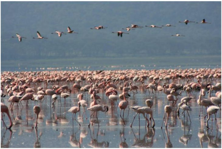 Flamingos in Nakuru National Park