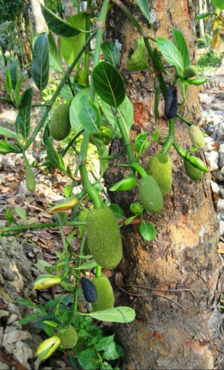 Fruits on the jackfruit tree
