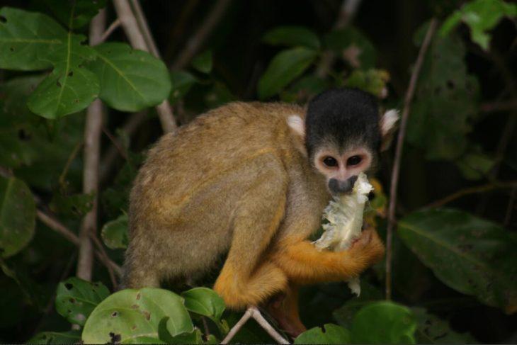 Monkeys in the Pampas de Yucuma in Beni