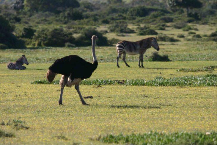 Ostrich and zebras in De Hoop Park