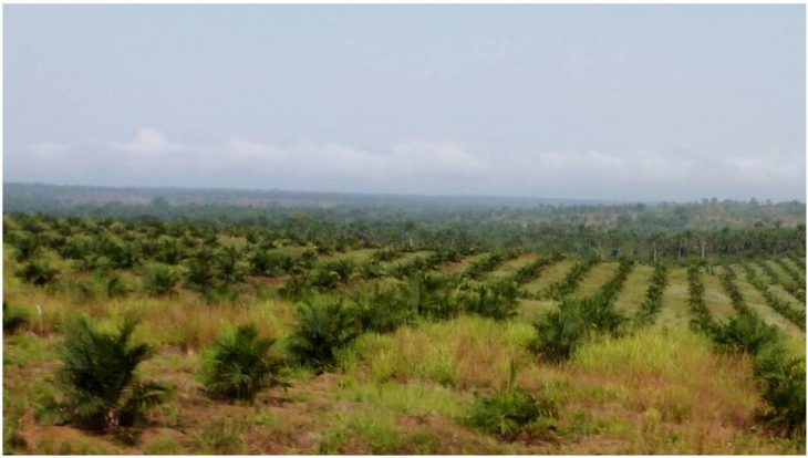 Palm oil plantation in the north of Sierra Leone