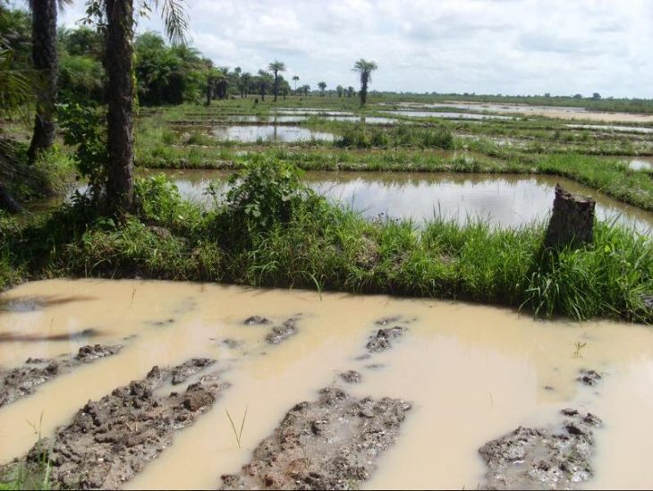 Rice cultivation in the Casamance