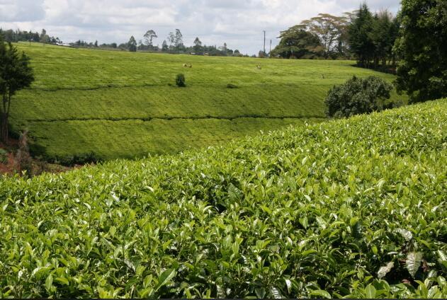 Tea fields in Limuru