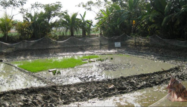 Test area for a rice variety with a higher tolerance to an increased salt content in the water