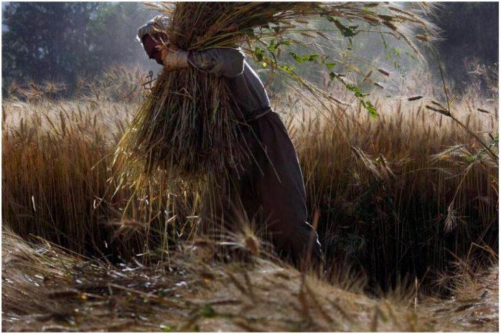 Wheat harvest in Bamiyan